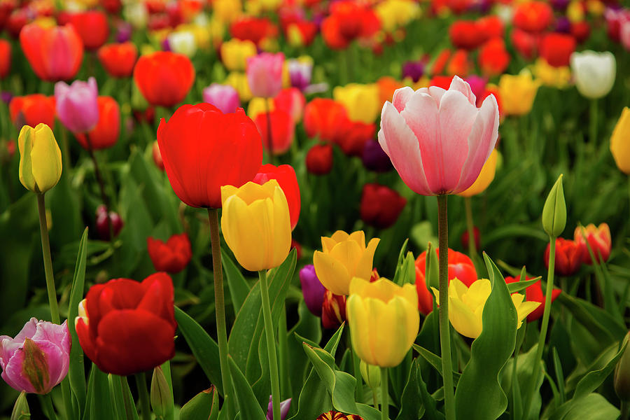 multicolored-tulips-bob-pool