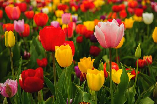 multicolored-tulips-bob-pool